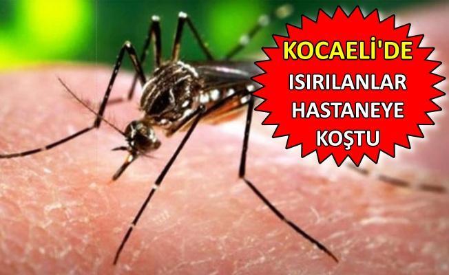 'Asya kaplan sivrisineği' Kocaeli'de görüldü!