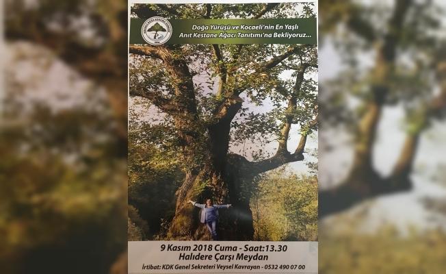 Doğa yürüyüşçüleri, 500 yaşındaki en yaşlı kestane ağacına yürüyecek