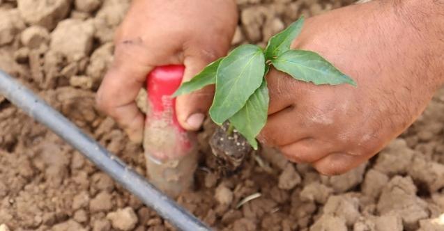 İBB'den İzmitli çiftçiye %100 hibe desteği! 144 bin 500 fide dağıtımı cumartesi başlıyor